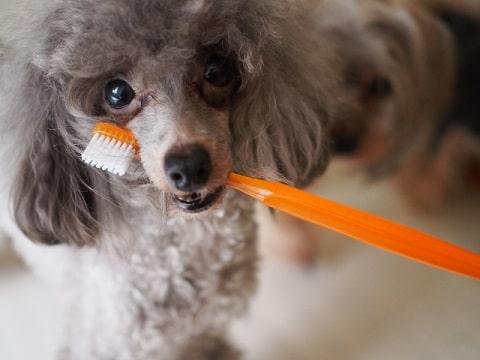 犬歯ブラシ写真